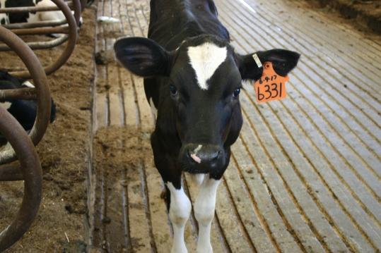Rickreall Dairy Calf.