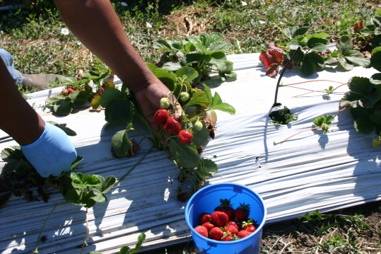 The Small Farmers' Project produces strawberries, blackcap raspberries.